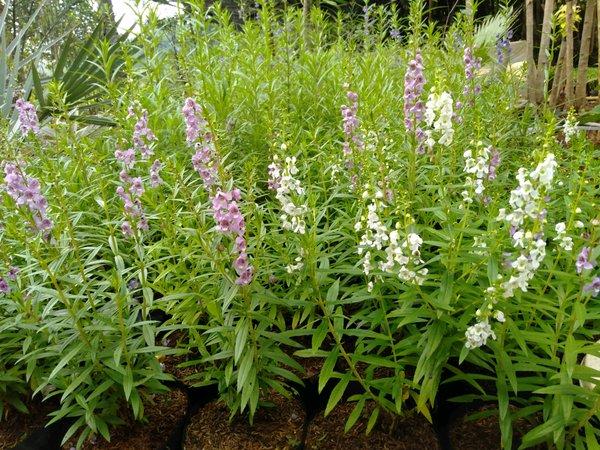 297-manfaat-lavender-untuk-kesehatan